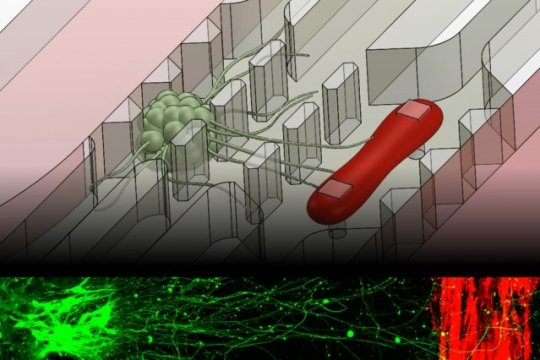 Microfluidic chip replicates muscle-nerve connection