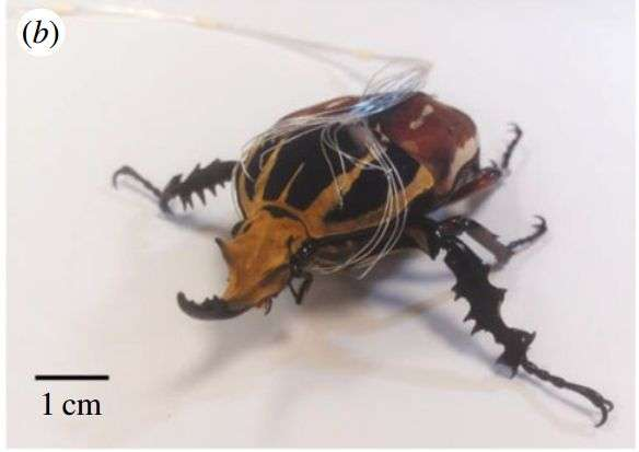 Next step with cyborg beetles: controlling their gait