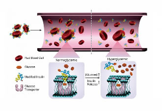 Red blood cells can help regulate blood sugar