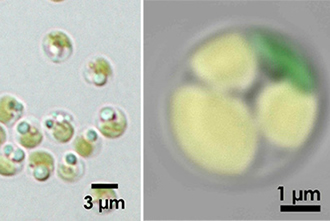 Biofuel produced by microalgae