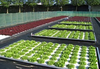 LED grow light chosen for indoor lettuce greenhouse project